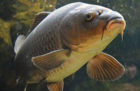 Miért pusztulnak a halak a Velencei tónál?